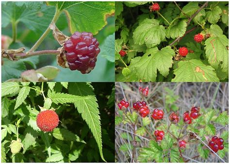 wild red raspberries picture 14