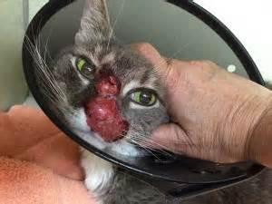 feline herpes virus picture 14