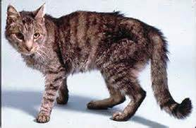 hyperthyroidism cat picture 1