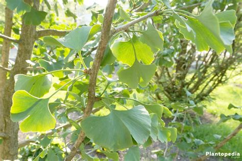 can i take ginkgo biloba with clonidine picture 2