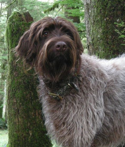 wire hair pointing griffon picture 9