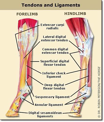 ankle joint effusion and ruptured achilles tendon picture 2