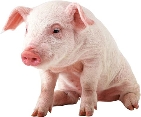 adding liquid fat to show pig diet picture 11