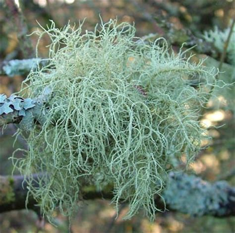 spilanthes usnea tincture ''side effects picture 2