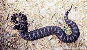 do all snakes have h picture 7