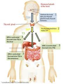 what function does the thyroid have in the picture 5