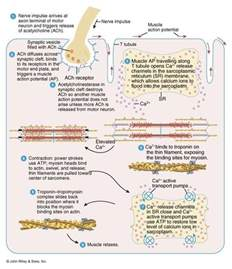 itric contraction in skeletal muscle tissue picture 7