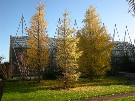 ginkgo atumn gold root system picture 5
