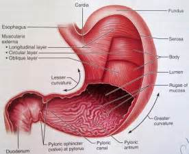 stomach picture 10