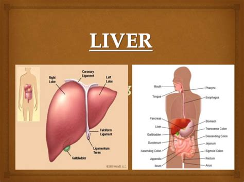 complete functions of the liver picture 1