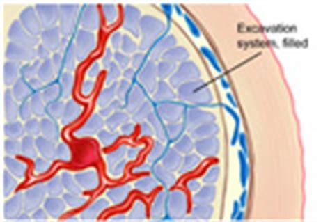 genital blood circulation picture 13