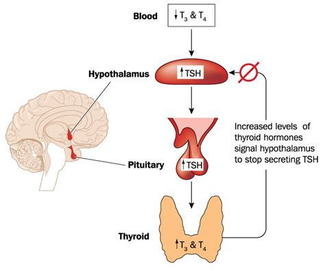 cause increased blood flow to thyroid picture 16