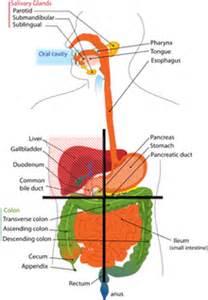 gall bladder wiki picture 14