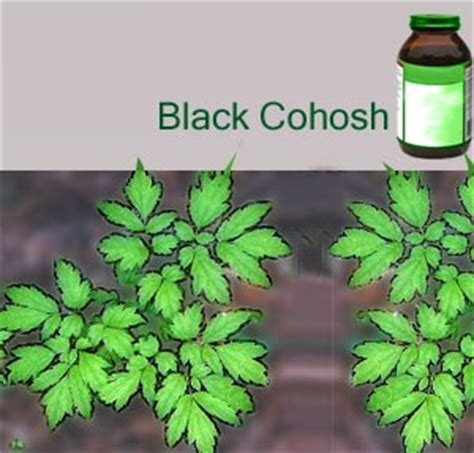 does black cohosh work picture 11
