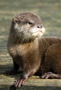 diet baby river otters picture 9