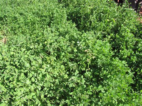 alfalfa picture 15