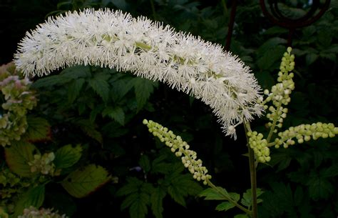 does black cohosh work picture 6
