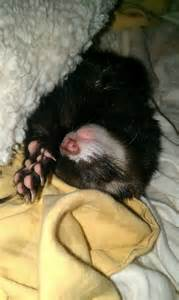 ferrets sleeping picture 13