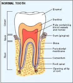 tooth anatomy text picture 11