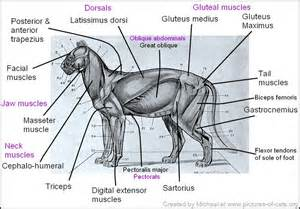 cat muscle anatomy picture 11