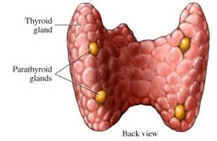 diagram of thyroid gland and parathyroids picture 1