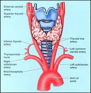 m on thyroid with blood supply picture 6
