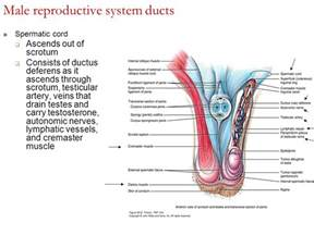 libido in men anatomy picture 3