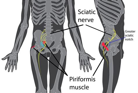 sciatic nerve related to erection in a male picture 1