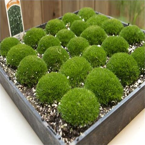 where to plant irish moss picture 4