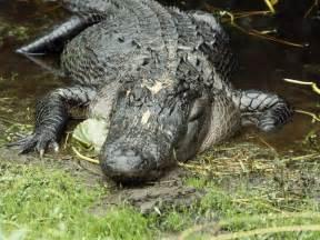 alligators skin preservation picture 1