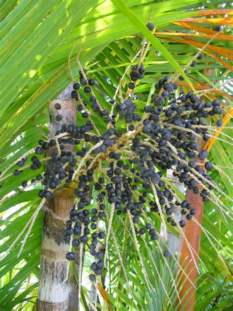 acai plants picture 1