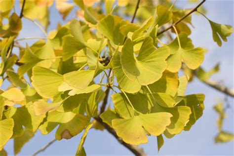 ginkgo atumn gold root system picture 7