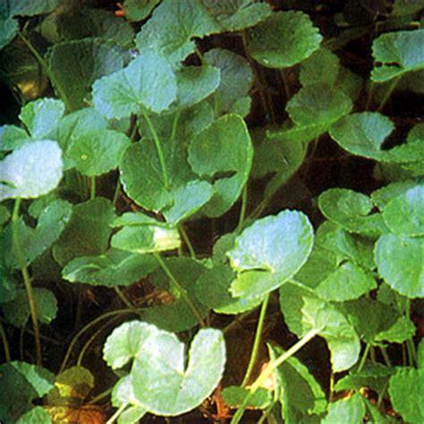 filipino herbs methodology picture 14