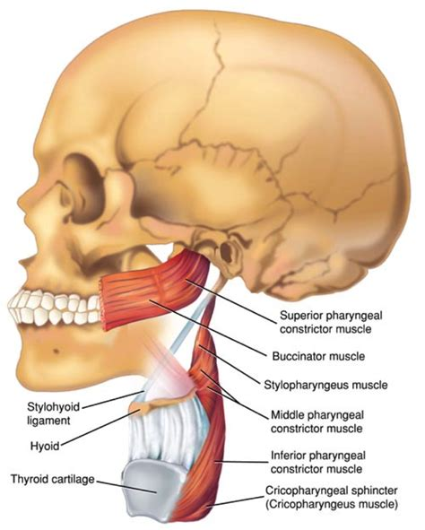 cricopharyngeal muscle picture 5