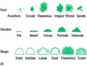 bacterial colony morphology picture 7