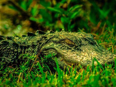 number of h alligators have picture 14