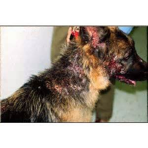 canine bleeding skin ulceration picture 2