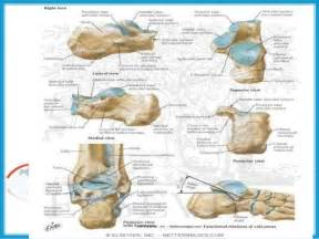 subtalar joint picture 3