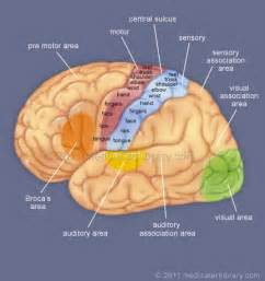 cerebral blood flow motor cortex picture 5
