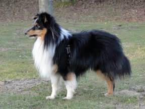 shelties h picture 13