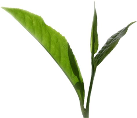 tea tree turn herpes black picture 11