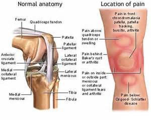 anotomy of knee joint picture 3