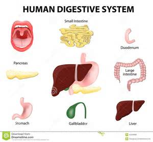 human digestion system picture 6