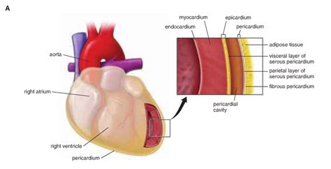 cardiac muscle picture 2