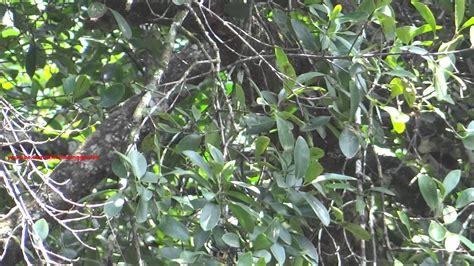 garcinia cambogia tree picture 7