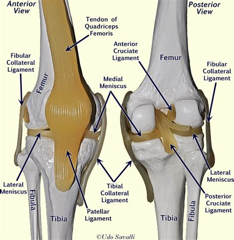 anatomy of a knee joint pictures and labels picture 3