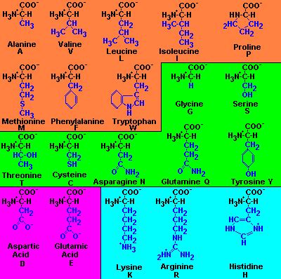 amino acids muscle picture 6