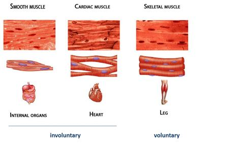functions of muscle system picture 13