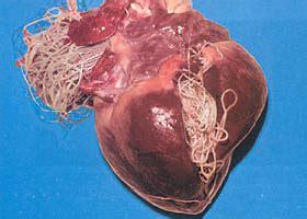 feline blood parasites that cause liver failure picture 6