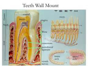 digestion teeth picture 19